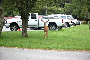 Small buck standing near my truck.jpg