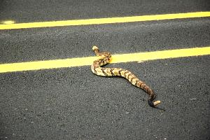 Timber Rattle Snake BMCG Aug 2010 .jpg