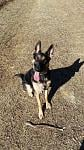 Kimber 1 year old German Shepherd