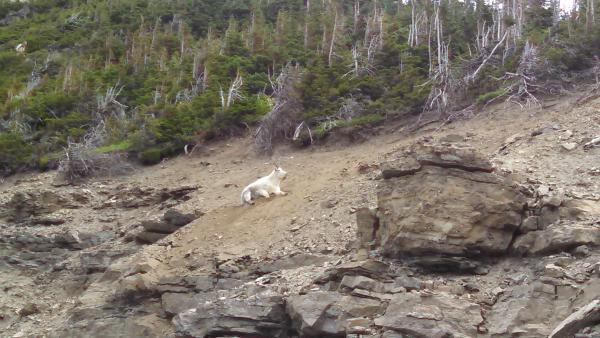8-12-2014 -  Common sighting on Logan's Pass.  All the same, you'd be a little bummed out if you didn't see a mountain goat.