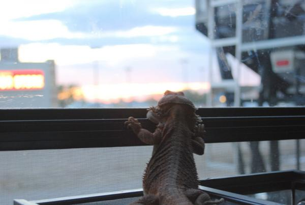 Our son's bearded dragon travels with us in the RV. When we boondock, he gets a hot water bottle at night and hand warmers in the day if it's cool. He loves to travel and enjoys looking out the RV window at the sites...even in Walmart parking lots!