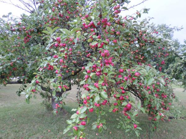 Cherry picking is complete.  The apples are ready now.