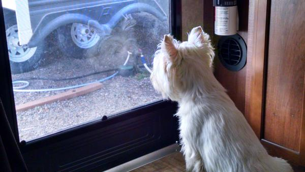 "Wee Dram confronting the ""other Westie."" (We put a piece of poster plexiglass in front of that part of the screen so he can't scratch through it. It's just a tad reflective.)"
