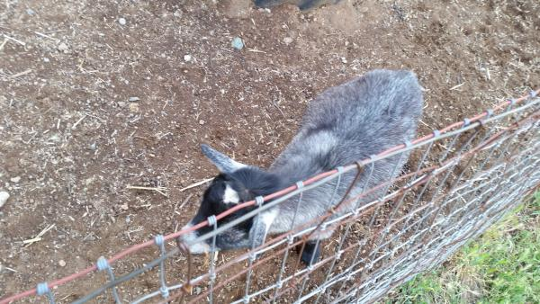 Goats at the petting zoo.