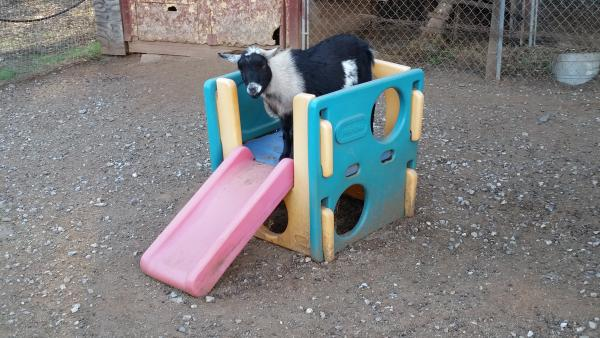 A goat on a slide.