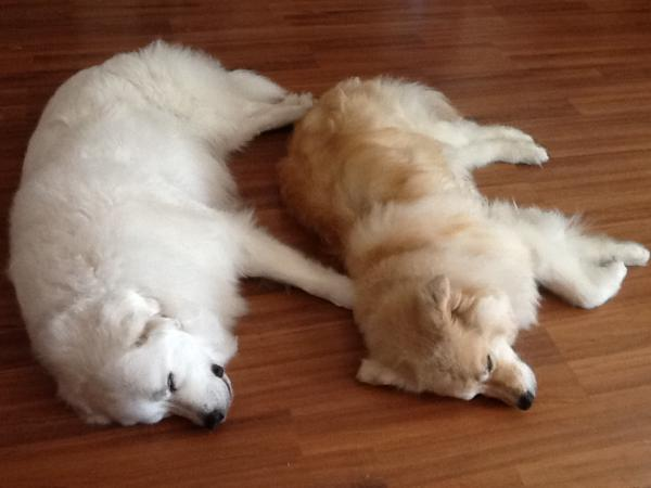 Bella a white Great Pyrenees and Lucas a Golden Retriever mix.